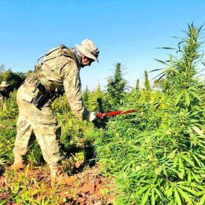 CAPITAN BADO: Destruyen más de 400 toneladas de marihuana.