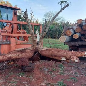 Misiones le ganó a Corrientes y cosechó una mandioca que pesa 65 kilos