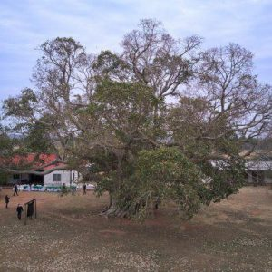 Guapo'́y de Paso Barreto es el árbol más grande del país