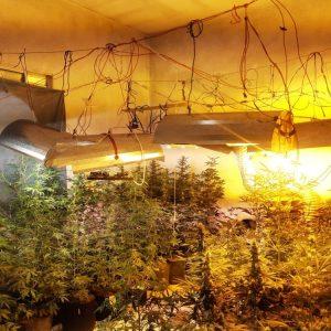 Estufa secreta de cannabis é encontrada dentro de residência em Praia Grande, SP